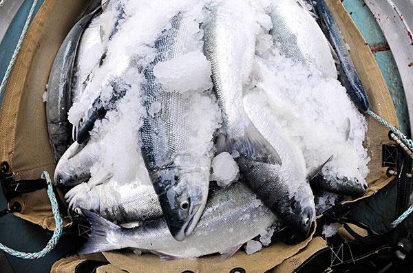 Alaska fish photo