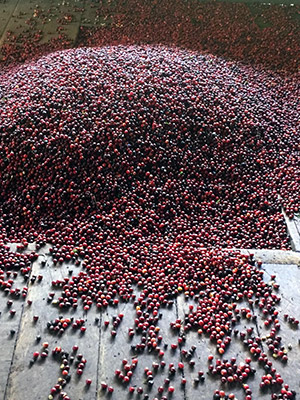 coffee-berries photo