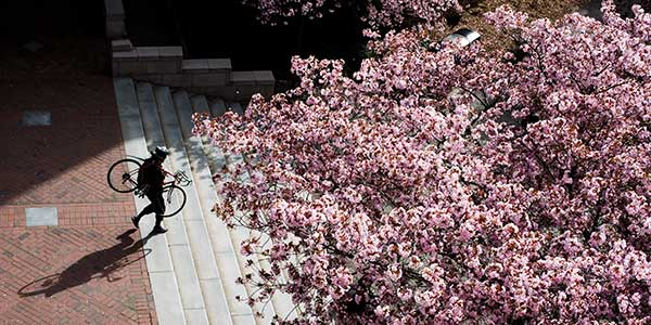 A person carries a bike down the steps on the UW campus with flowering cherry blossoms.