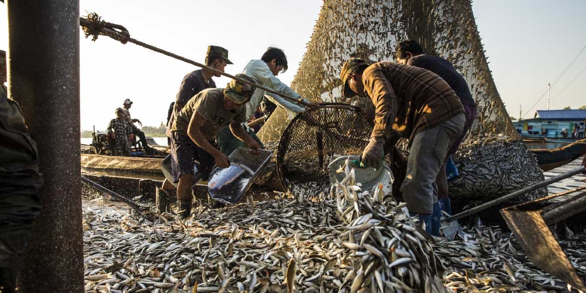 The Mekong region is home to about 850 species of freshwater fish. The small Trey Riel make up most of these fishermen's catch. During peak season, workers empty nets every half hour, day and night.